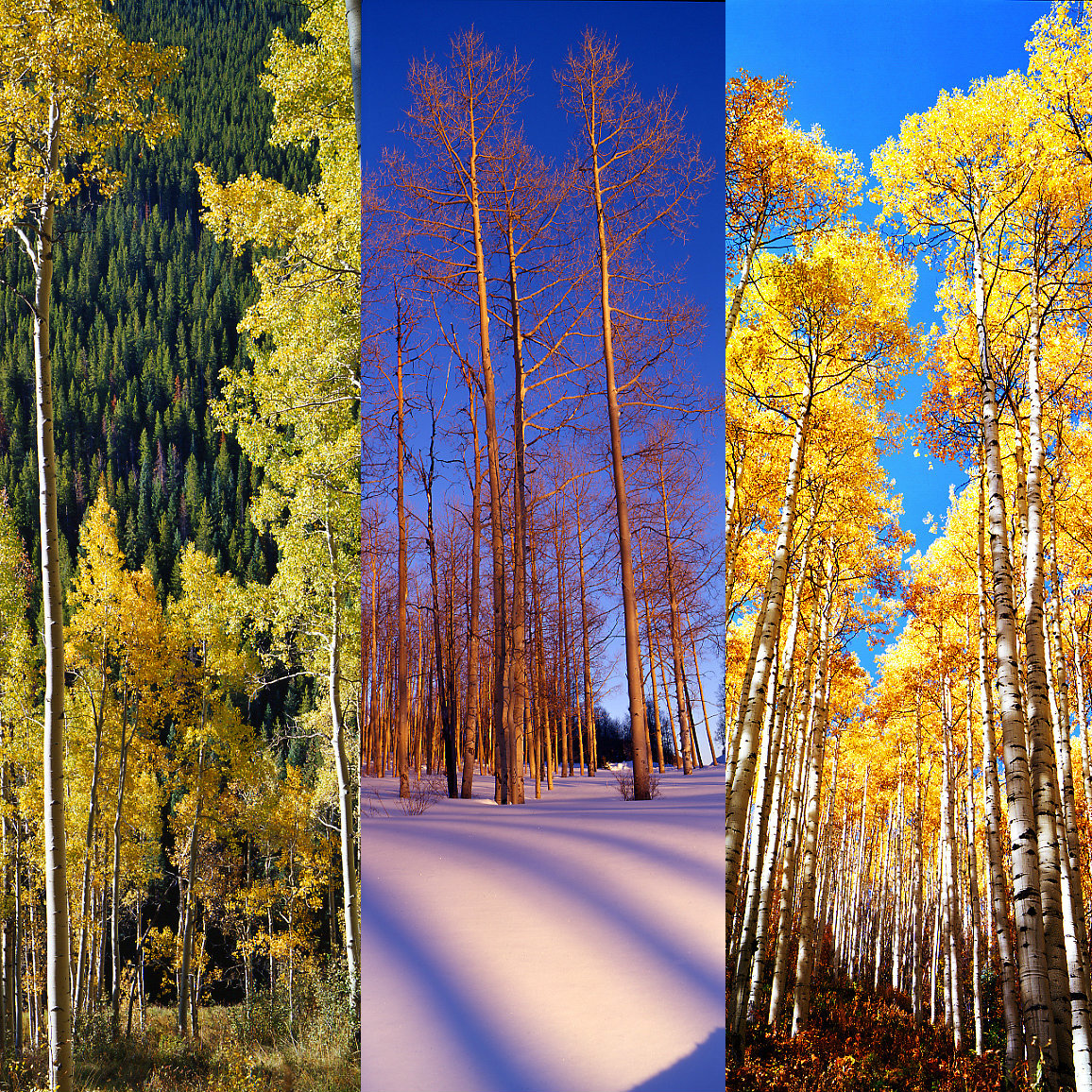 seasonal aspens.jpg